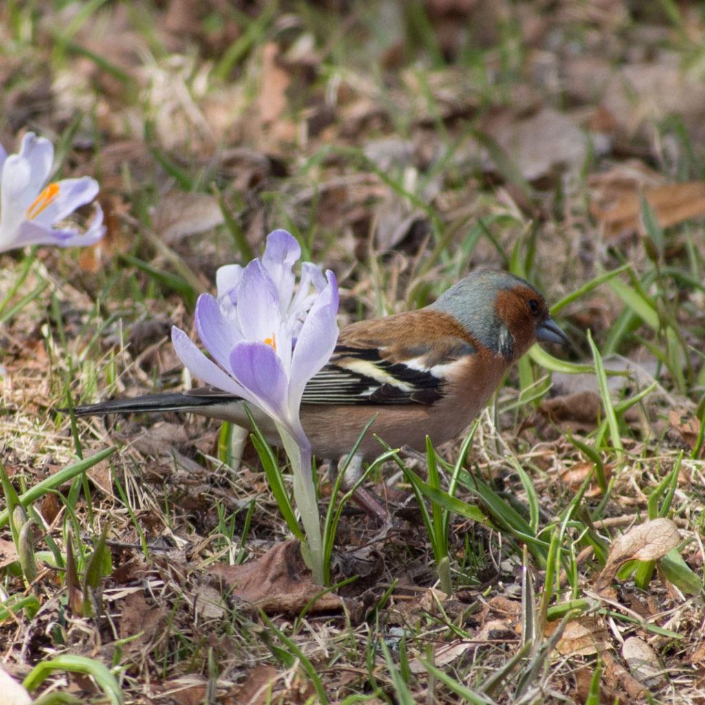 Hannfugl av bokfink