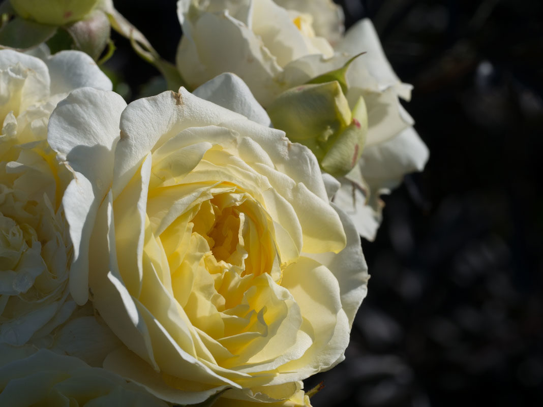 Fylt gul rose
