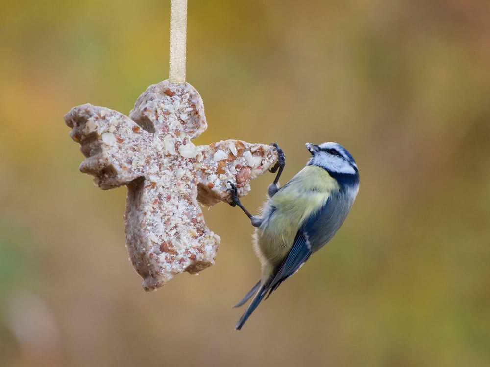 blåmeis spiser av hjemmelaget meisebolle