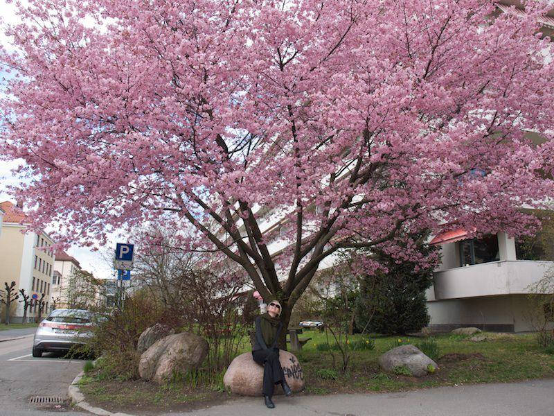 Prydkirsebærtre på Majorstua med rosa blomster og Anne under