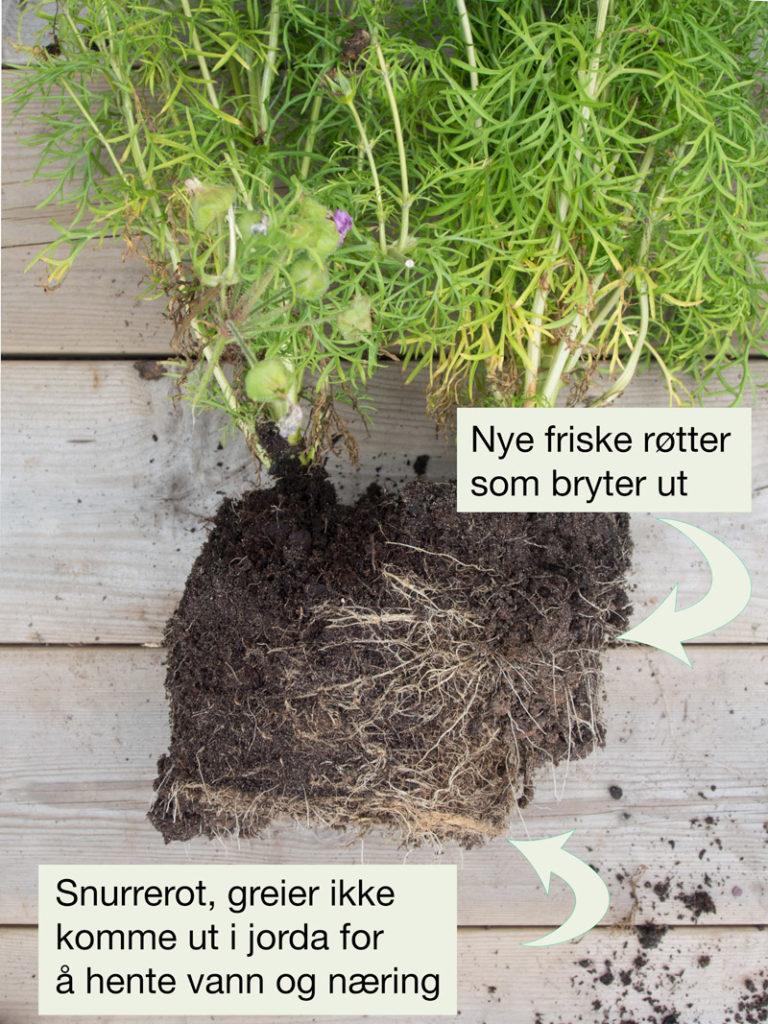 Rotklump på en plante som var plantet med snurrerot. Den greier ikke lage nye røtter der det er tykt med røtter