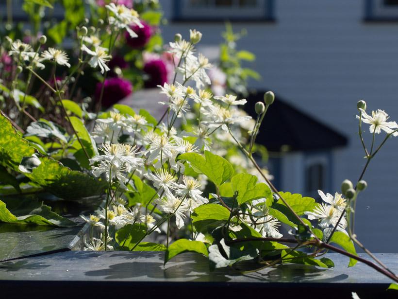 summer snow paul farges klematis