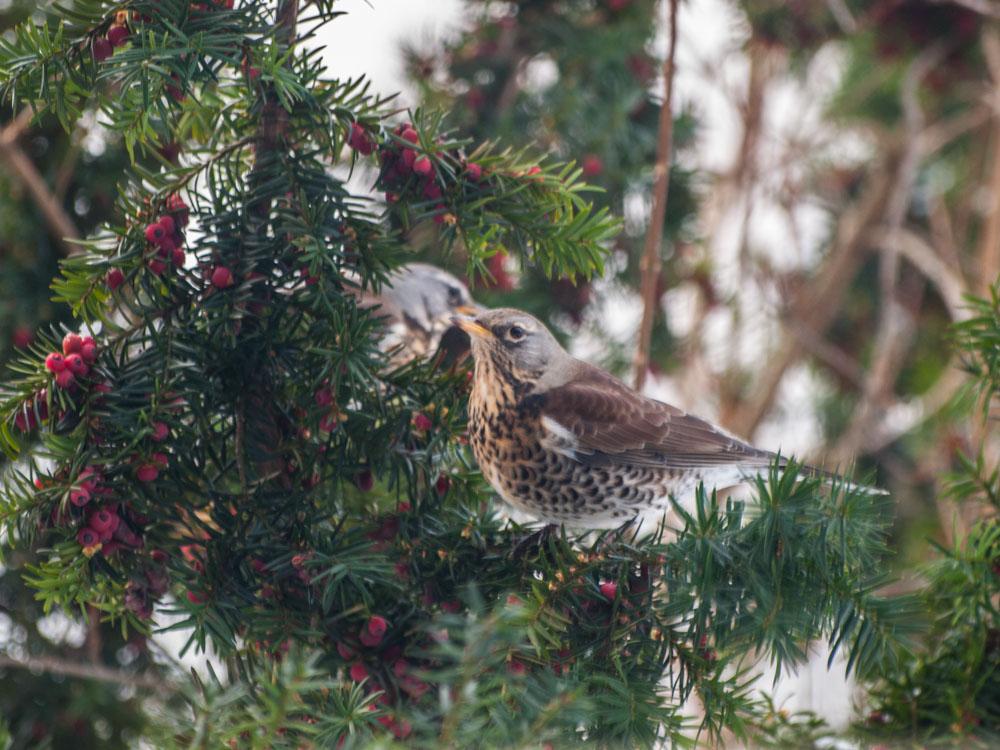 Bær på busker er også god fuglemat, dette er gråtrost på barlind