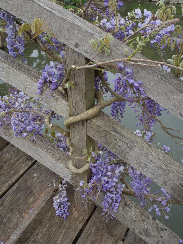 De hengende blå blomstene på blåregn