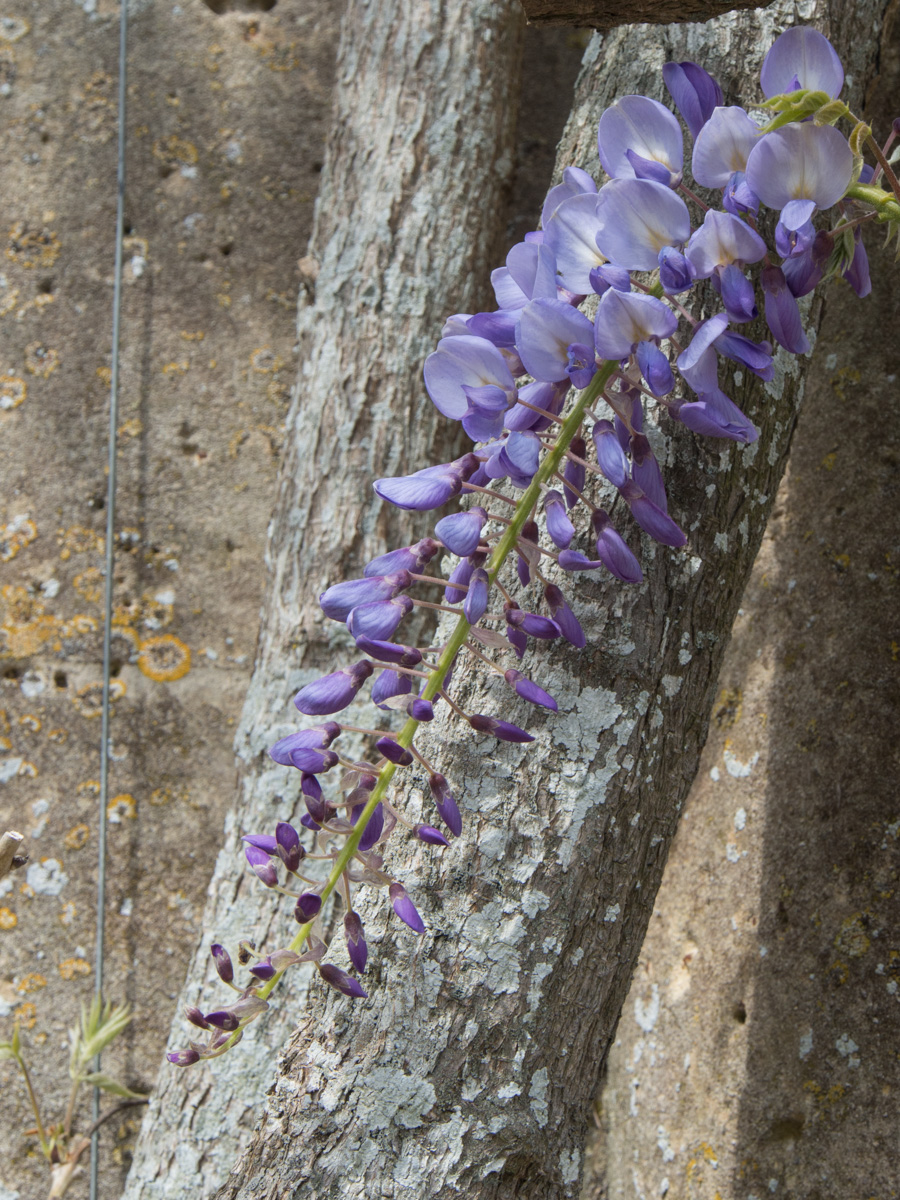 Blåregn, wisteria, den vakreste av klatreplantene!