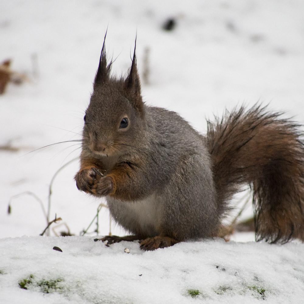 Vinterpels på ekorn