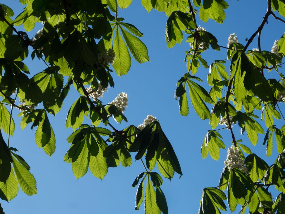 Hestekastanjetre sett nedenfra, med flotte blader og hvite blomster