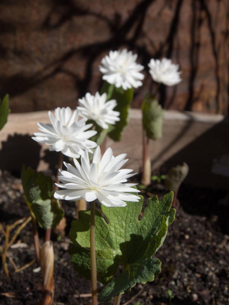 blodurt, lav staude med hvite blomster