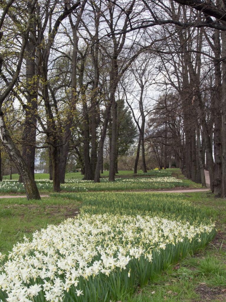 Innover slottsparken er det store tepper av gammeldagse hvite pinseliljer