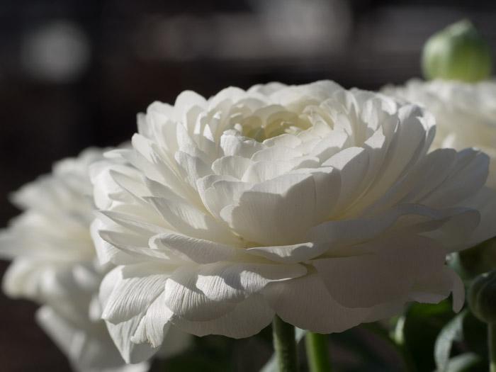 Hvit ranunkel blomst. Den kommer også i rosatoner, gul, orange og lilla