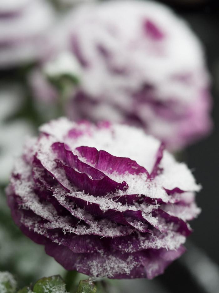 Ranunkler tåler frost og snø, og er derfor perfekt i krukker på våren