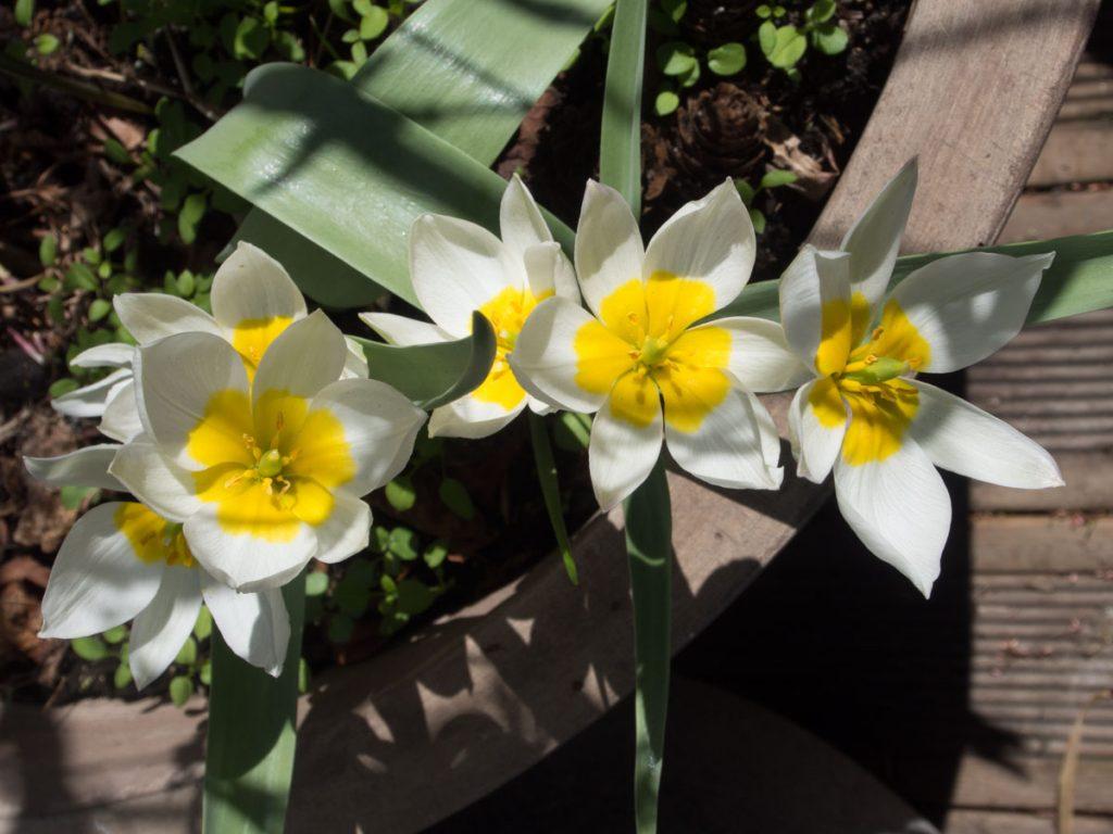 Tulipa polychroma blomster. Botaniske tulipaner med hvite blomster med gult senter