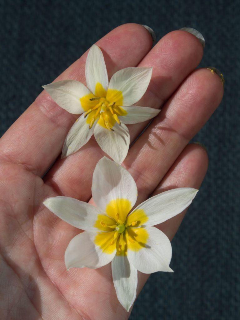 Sammenligning av tulipa turkestanica og polychroma