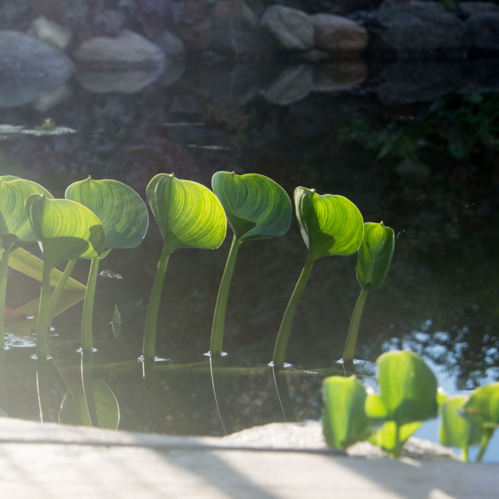 damplante Calla palustris