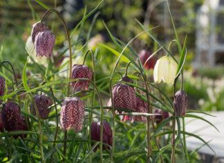 Ruteliljer, en favoritt bland høstløk