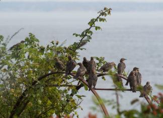 En flokk stær sitter på rosebue