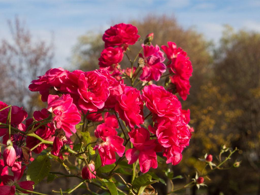 Elmshorn rose