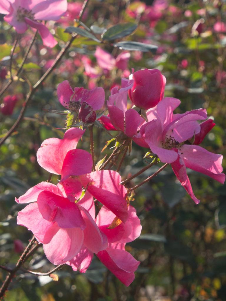 Betty Prior rose