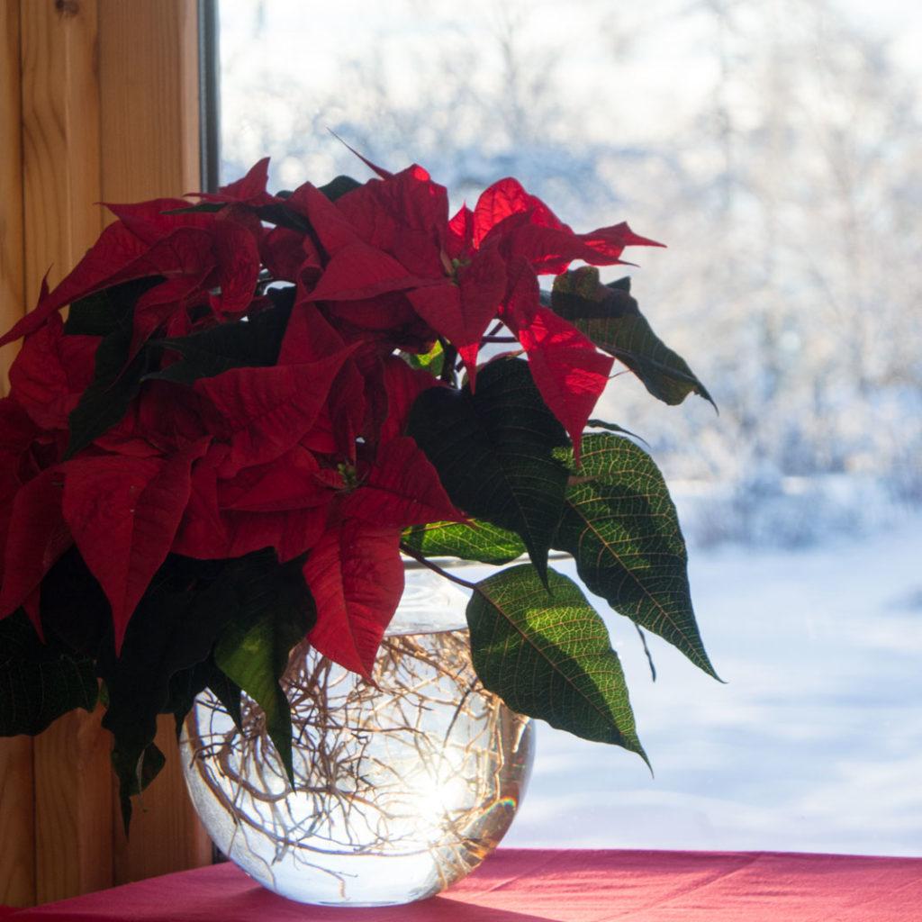 Boblen vase med julestjerne med nakne røtter
