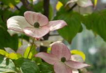 Koreakornell i blomst, en av de vakreste blomstrende buskene