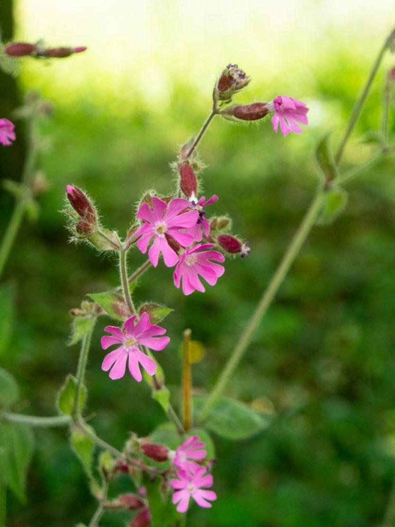 Rød jonsokblom, markblomst med rosa blomster