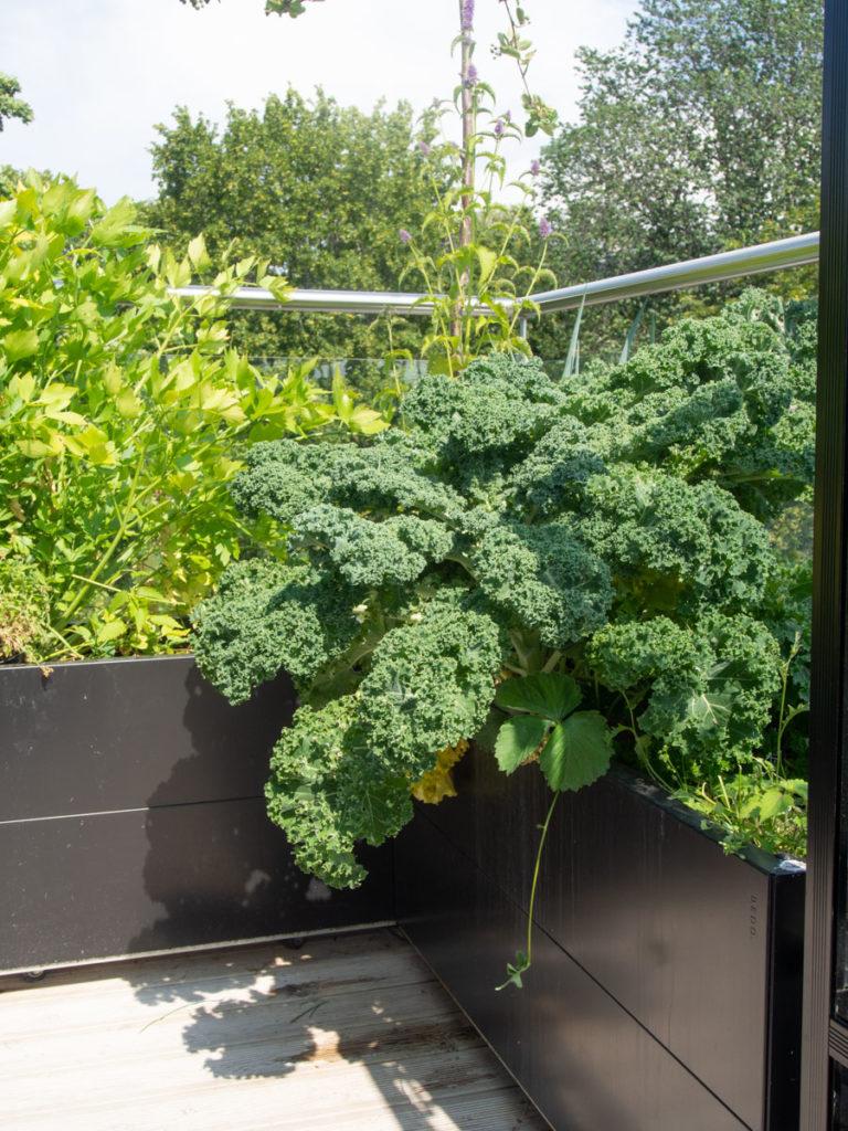 Grønnkål vokser i plantekasse i kjøkkenhage på balkong